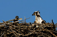 Osprey and Chick - June 2007