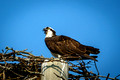 Beckwith Osprey Family