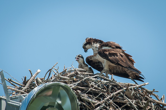 Osprey and Chick - July 2013